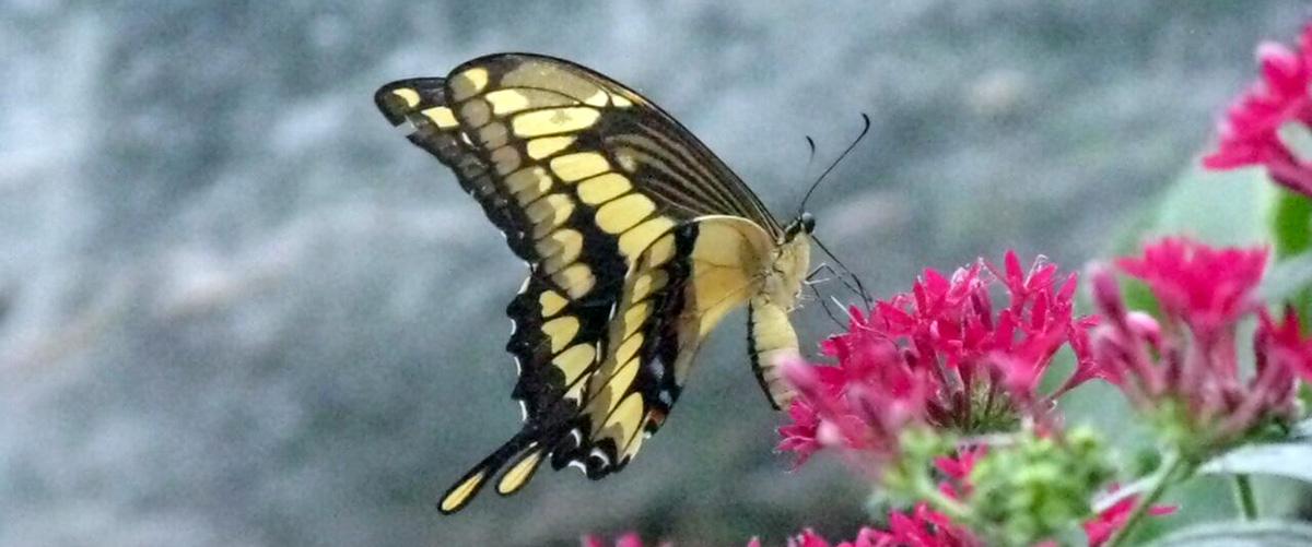 papillon-beige-fleur-rose1200